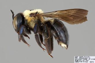 [Xylocopa virginica female (lateral/side view) thumbnail]