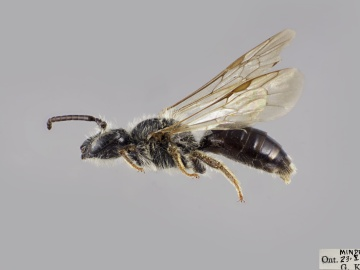 [Andrena alleghaniensis male thumbnail]