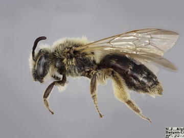 [Andrena bisalicis female thumbnail]