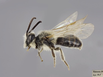 [Andrena bisalicis male thumbnail]