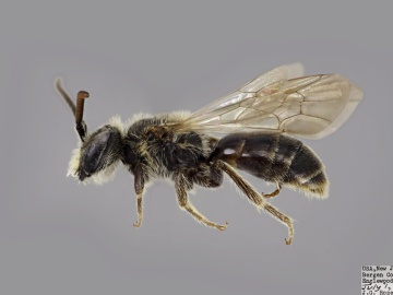 [Andrena brevipalpis male thumbnail]
