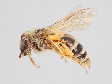 [Andrena canadensis female thumbnail]