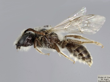 [Andrena canadensis male thumbnail]