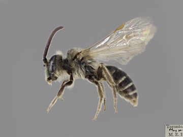 [Andrena ceanothi male thumbnail]
