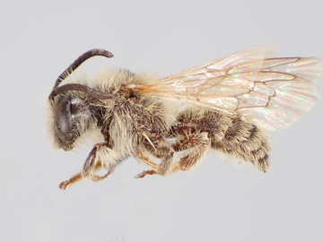 [Andrena costilensis male thumbnail]