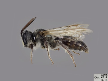 [Andrena cressonii male thumbnail]