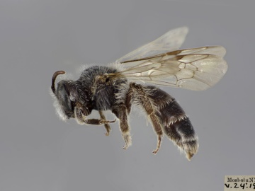 [Andrena distans female thumbnail]