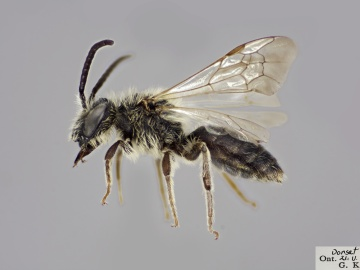 [Andrena forbesii male thumbnail]