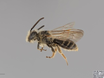 [Andrena medionitens male thumbnail]