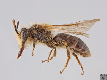 [Andrena nevadensis male thumbnail]