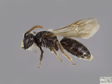[Andrena robertsonii male thumbnail]