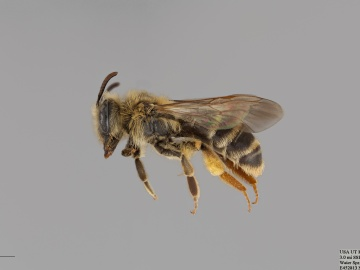 [Andrena scurra female thumbnail]
