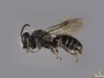 [Andrena simplex male thumbnail]