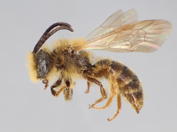[Andrena striatifrons male thumbnail]