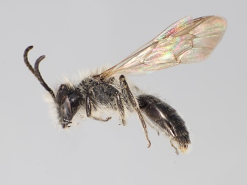 [Andrena tridens male thumbnail]