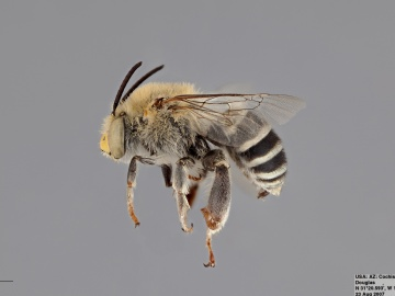 [Anthophora californica male thumbnail]