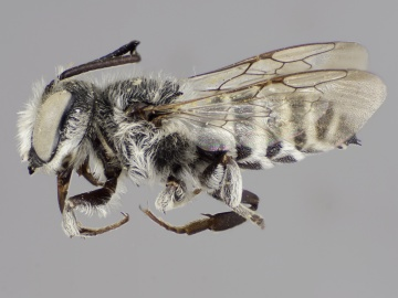 [Coelioxys grindeliae male thumbnail]