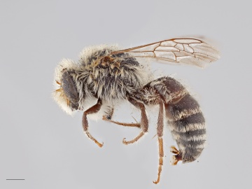 [Colletes albescens male thumbnail]