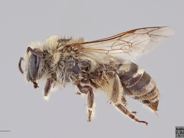 [Colletes angelicus female thumbnail]