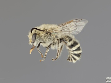 [Colletes gypsicolens male thumbnail]