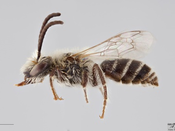 [Colletes hyalinus male thumbnail]
