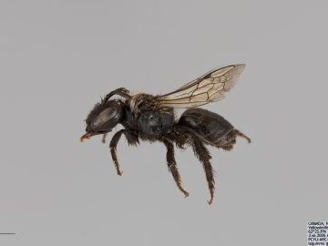 [Colletes nigrifrons female thumbnail]
