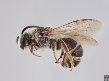 [Colletes robertsonii male thumbnail]
