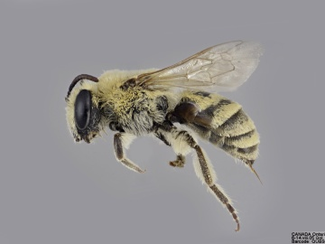 [Colletes solidaginis female thumbnail]