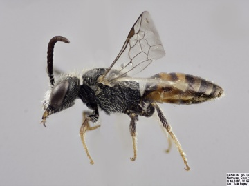 [Sphecodes solonis male thumbnail]