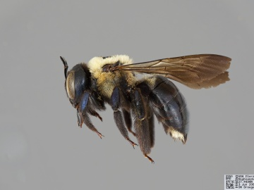 [Xylocopa virginica female thumbnail]