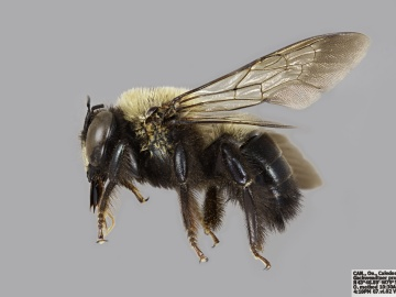 [Xylocopa virginica male thumbnail]