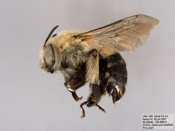 [Anthophora montana female thumbnail]