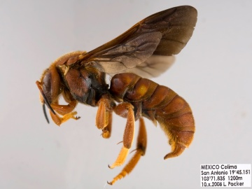 [Dianthidium macrurum male thumbnail]