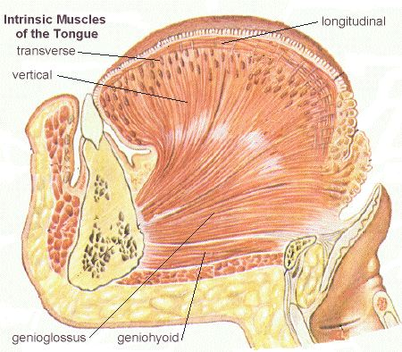 The tongue the image at left features the important muscles of the body of the tongue the transverse muscle fibers are hard to see because they can only be seen in ccuart Image collections