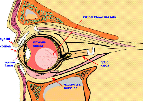 Eye cross section on cross section of the eye, flowchart of the eye, schematic eye retinoscopy, sagittal section of the eye, schematic section of the human eye, cutaway view of the eye, midsagittal section of the eye, transverse section of the eye, cross section diagram of eye,