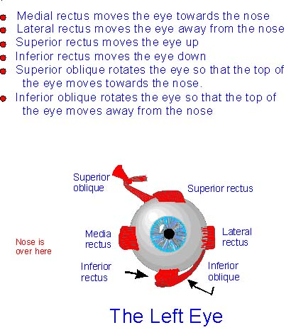 Extraocular Muscles Test Extraocular Muscles