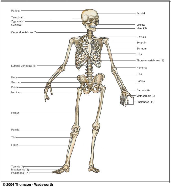 anth 2140, Skeleton