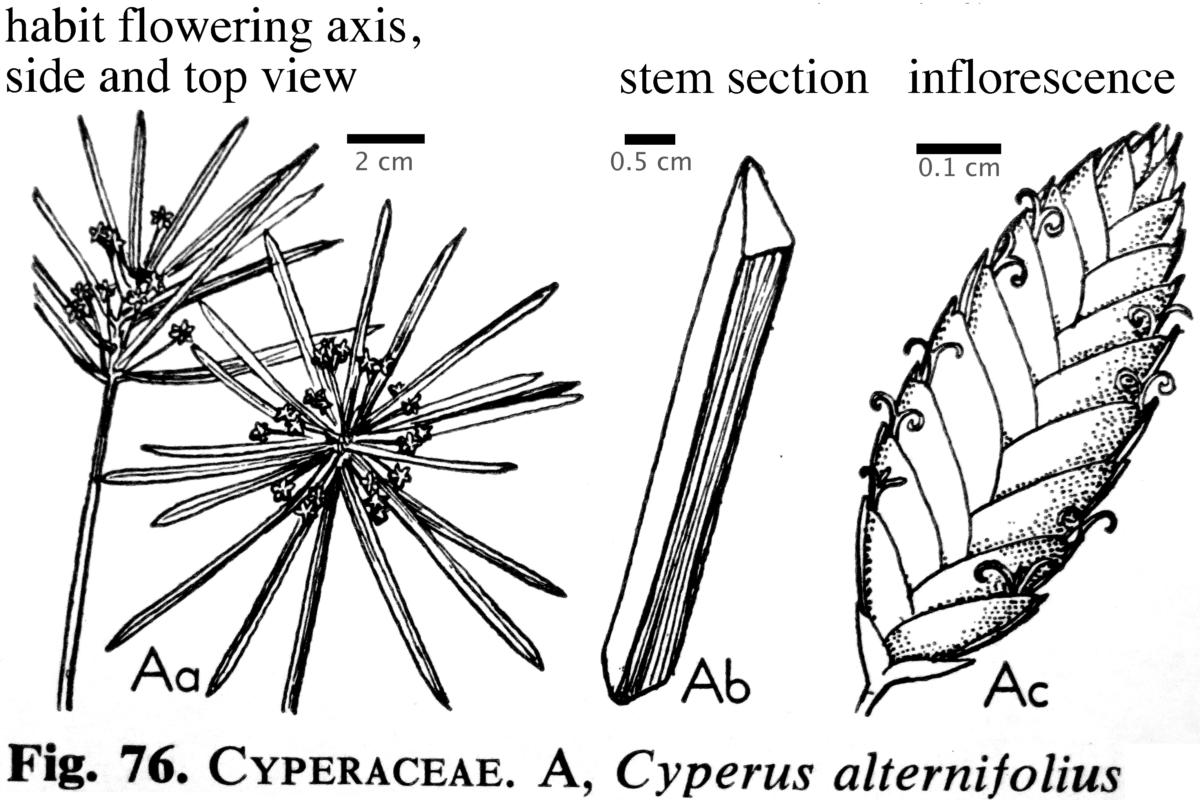 Greenhouseyork 14 february 2015 cyperus alternifolius umbrella sedge flowers pooptronica