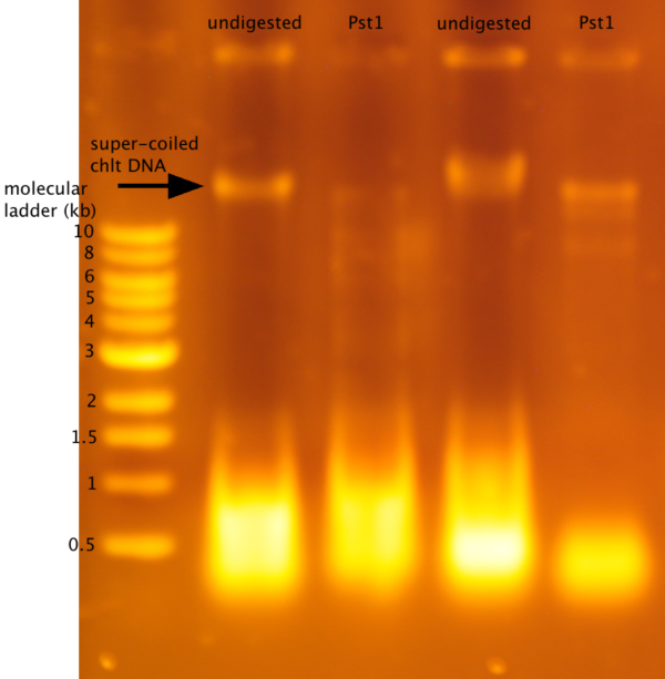 Student Results For Dna Digestion