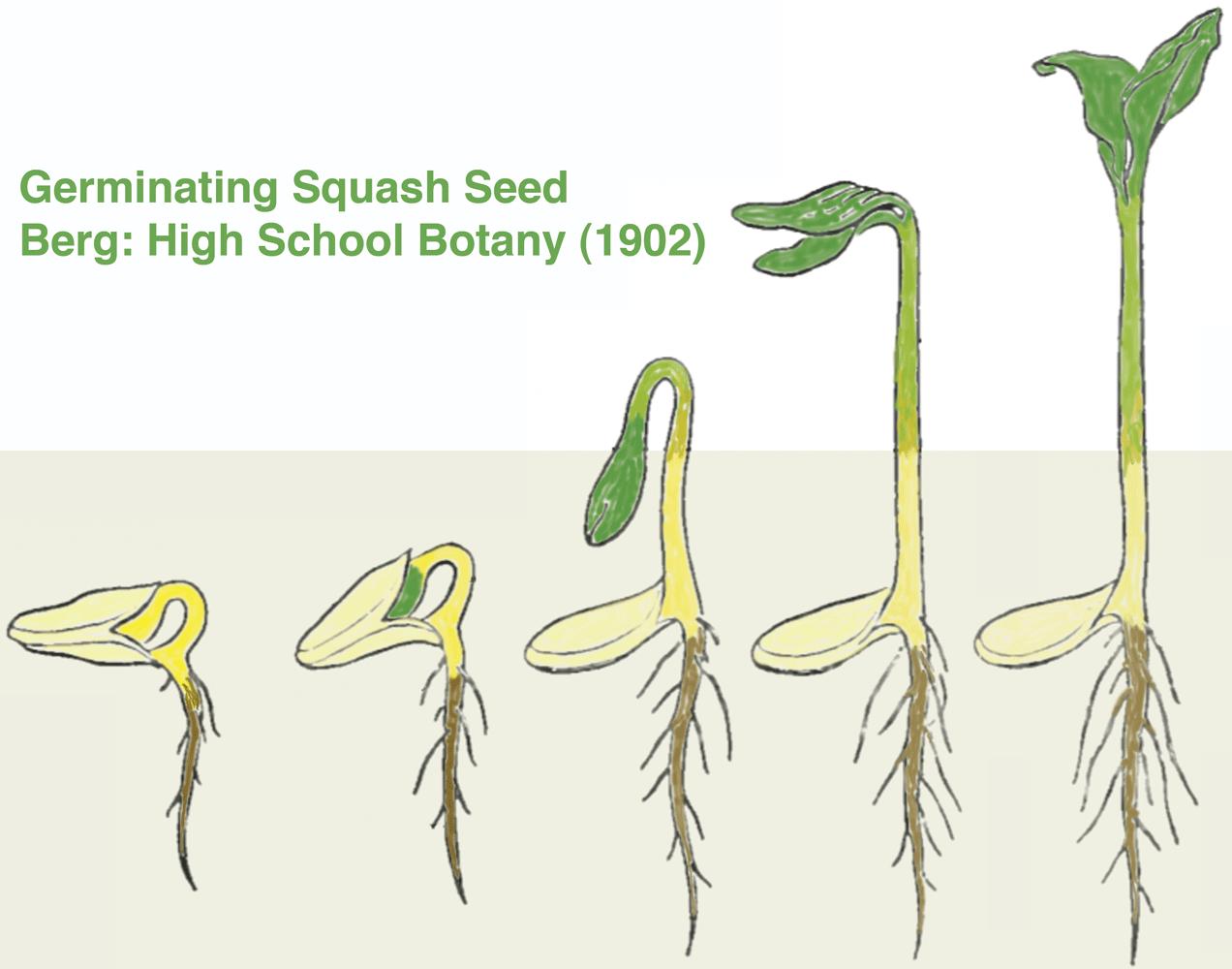 squash seed diagram