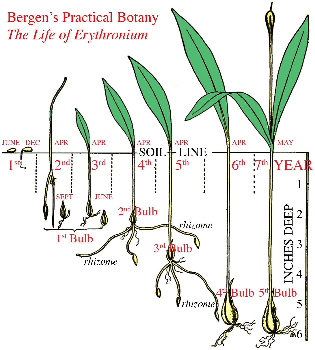 anthesis of soybean