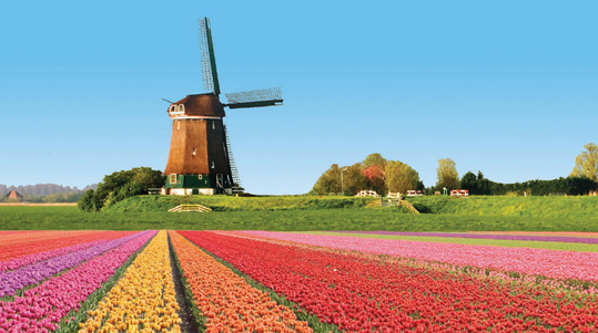 Field of flowers and windmill in Netherlands