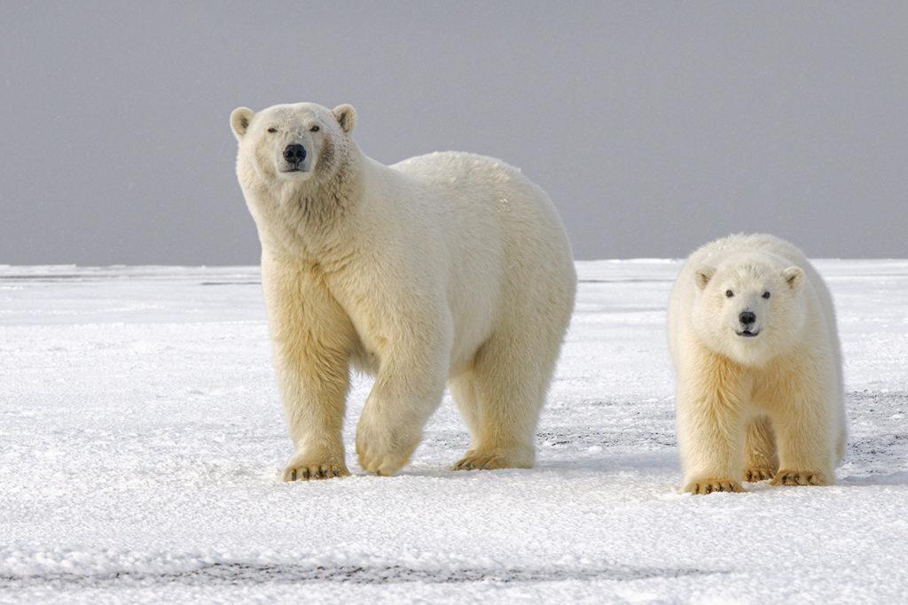two polar bears in Arctic
