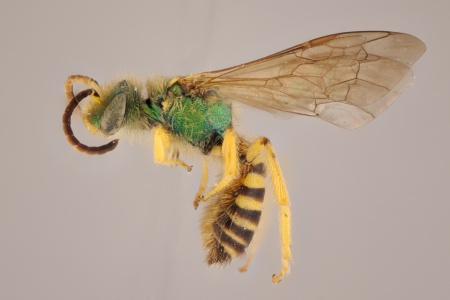 [Agapostemon nasutus (lateral/side view) thumbnail]