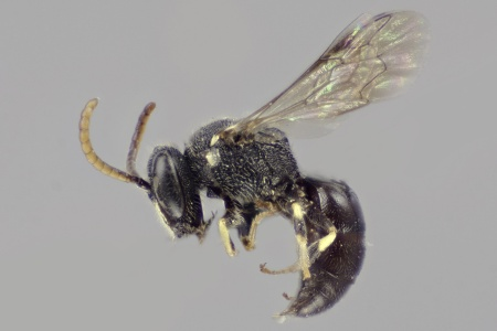 [Hylaeus punctatus (lateral/side view) thumbnail]