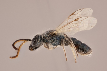 [Lasioglossum (lateral/side view) thumbnail]