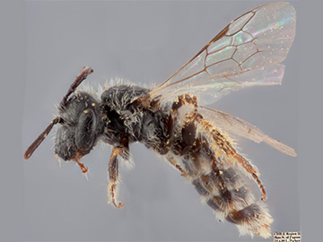 [Parasarus atacamensis (lateral/side view) thumbnail]