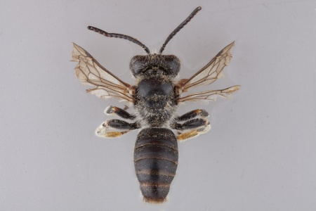 [Afrodasypoda plumipes male (dorsal/above view) thumbnail]
