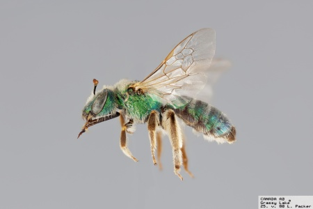 [Agapostemon angelicus female (lateral/side view) thumbnail]