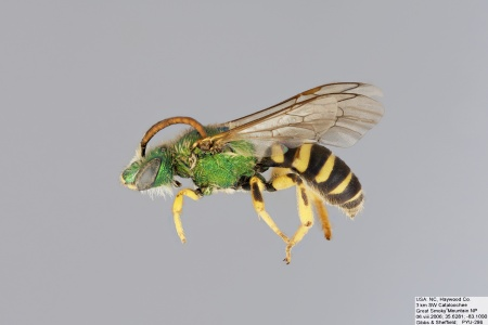 [Agapostemon virescens male (lateral/side view) thumbnail]